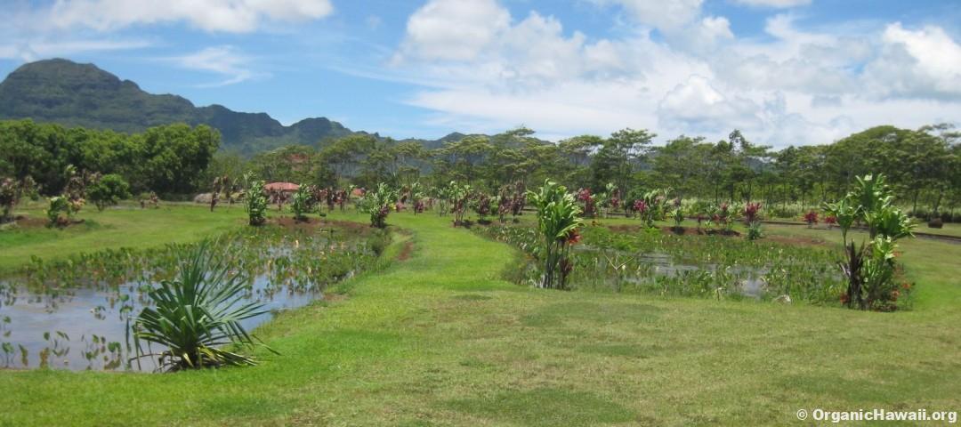 Taro ponds Kauai Farm