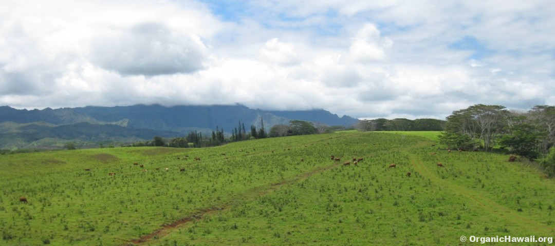 Grass fed beef grazing on a Kauai farm