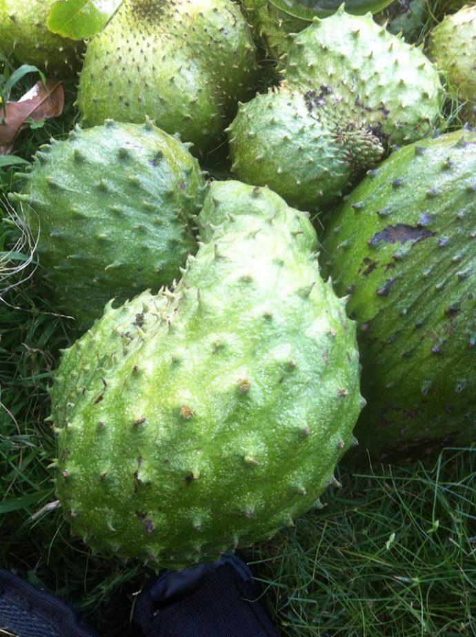 Soursop fruit (Annona muricata) aka Graviola, Guyabano, Guanabana grown in Hawaii