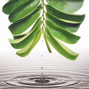 Soursop (Graviola) leaves for tea