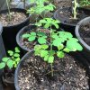 Moringa seedling in 1 gallon pots