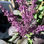 Tulsi Holy Basil flowers - Organic Hawaii