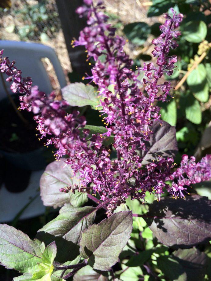 Tulsi Holy Basil flowers - Organic Hawaii