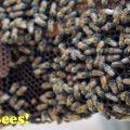 save the bees 1080 organic hawaii