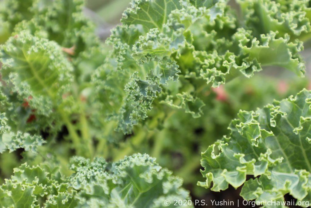 Organic Hawaii grown green Curly Kale
